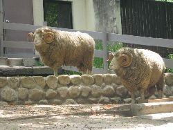 五月山動物園の羊