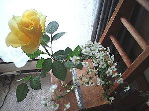 黄色いバラと雪柳
